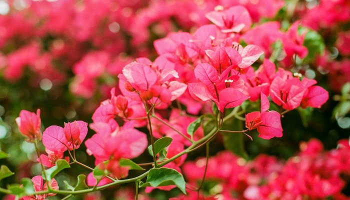the-vivacious-plant-is-like-a-coat-of-fresh-paint-for-your-garden
